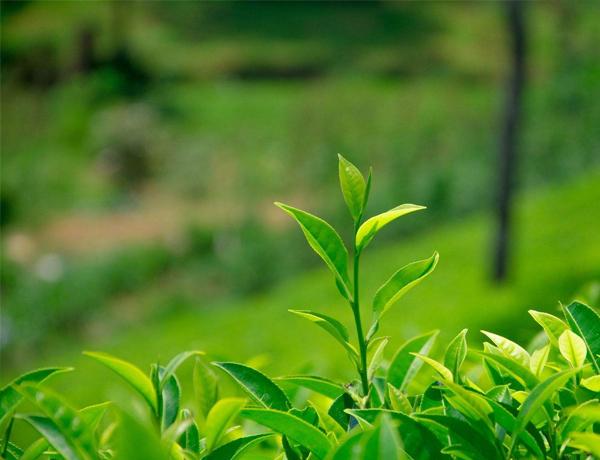 绿夏清茶香氛精油